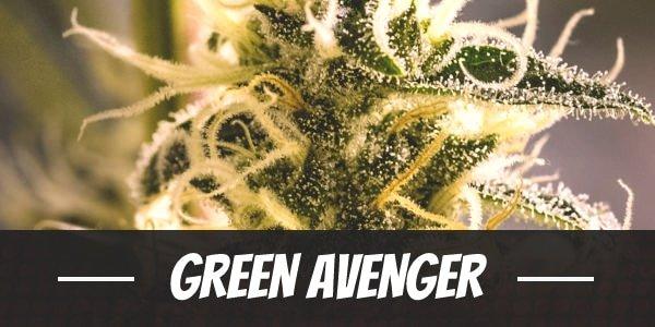 Green Avenger Strain