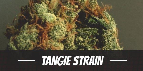 Tangie Strain