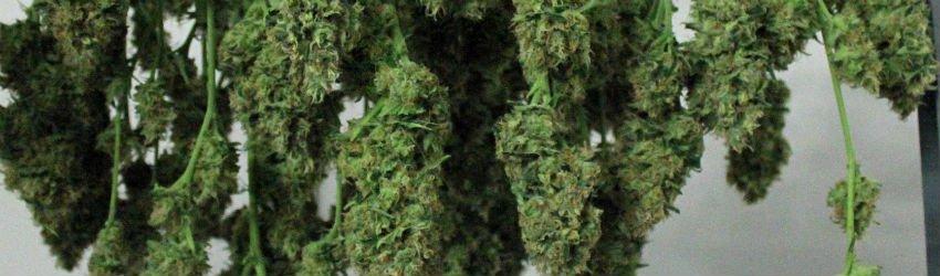 Why You Should Grow Marijuana