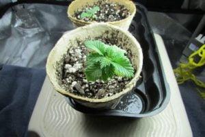 The elder plant