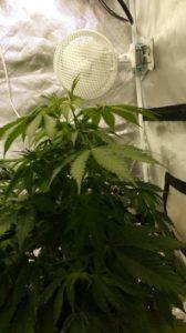 the Amnesia Haze plants