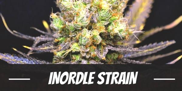 Nordle Strain