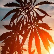 Growing Marijuana in California