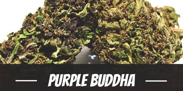 Purple Buddha Strain