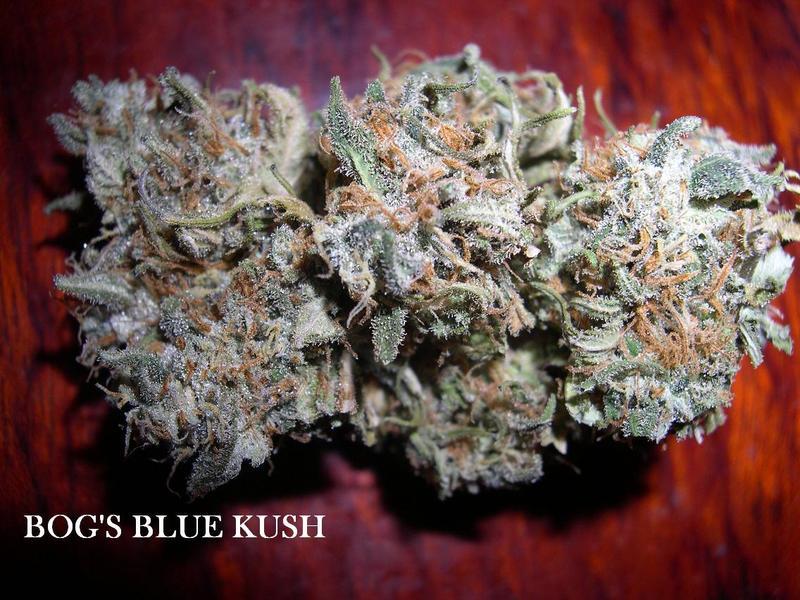 Blue Kush Strain Review - I Love Growing Marijuana