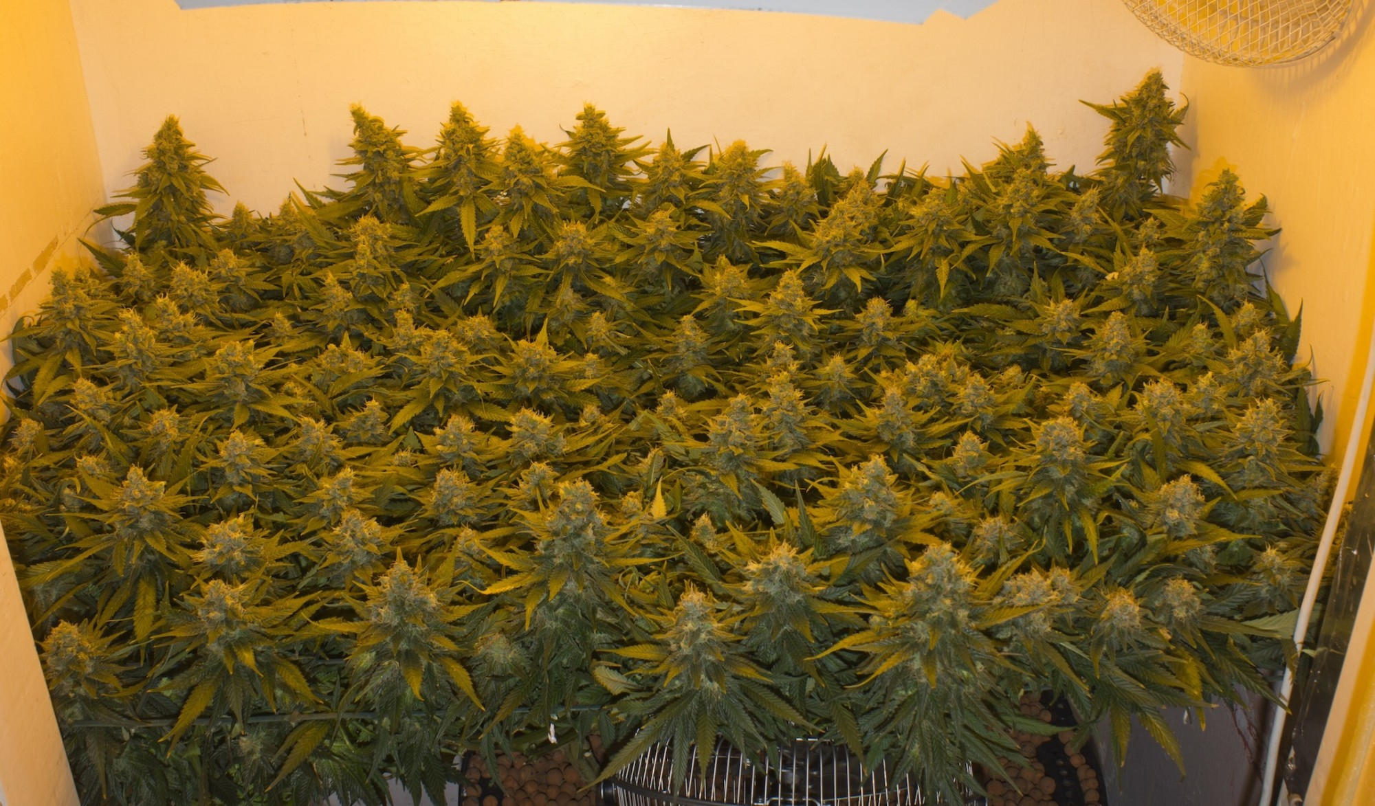 Monster Cropping Marijuana