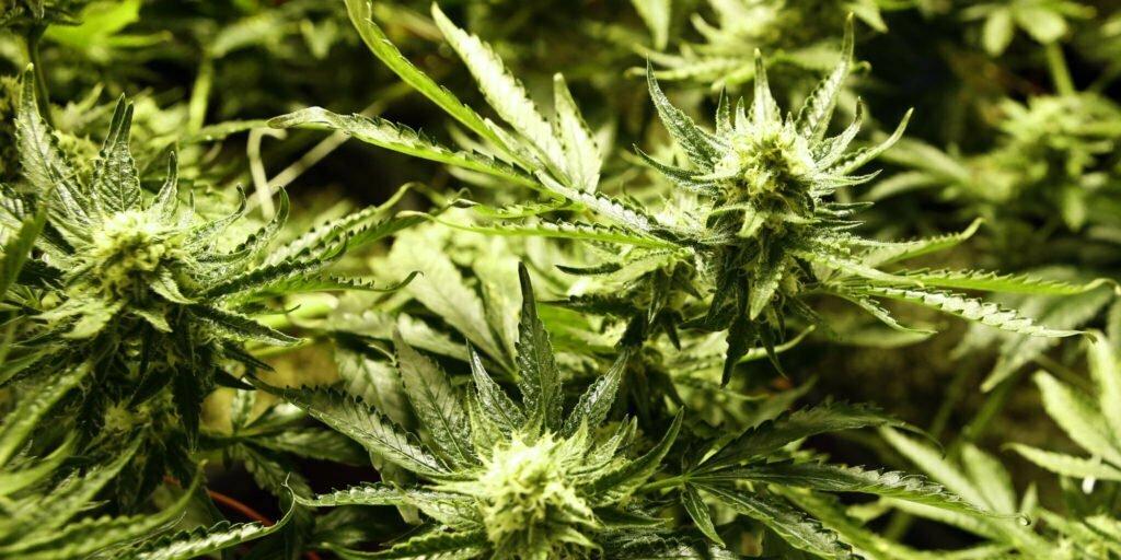 How to Top Marijuana Plants to Get Bigger Yields