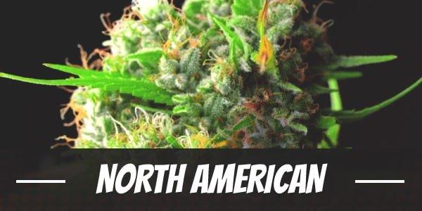 North American Strain