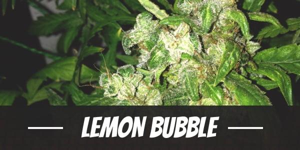 Lemon Bubble Strain