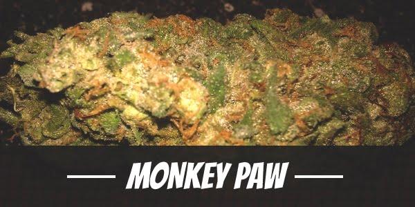 Monkey Paw Strain