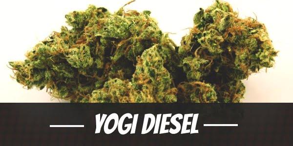 Yogi Diesel Strain