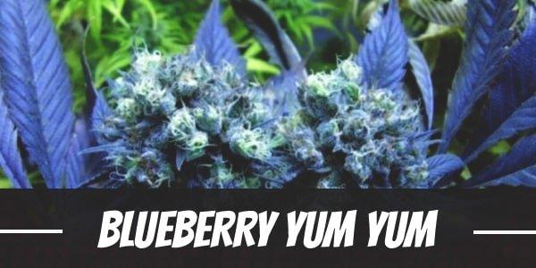 Blueberry Yum Yum Strain