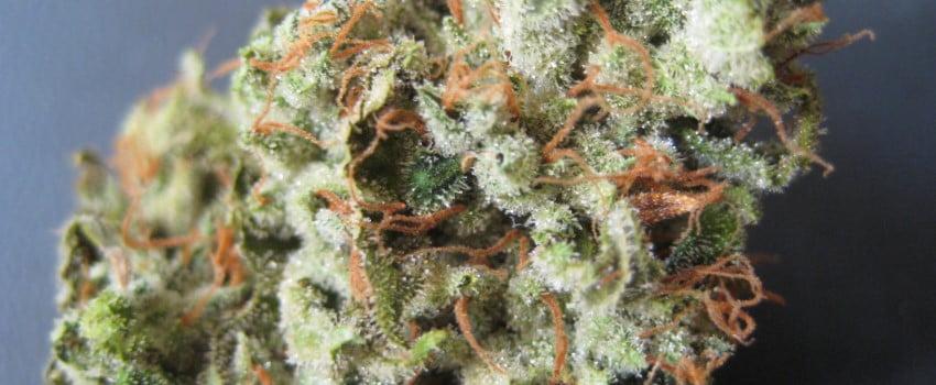 Snow Lotus Strain Review I Love Growing Marijuana