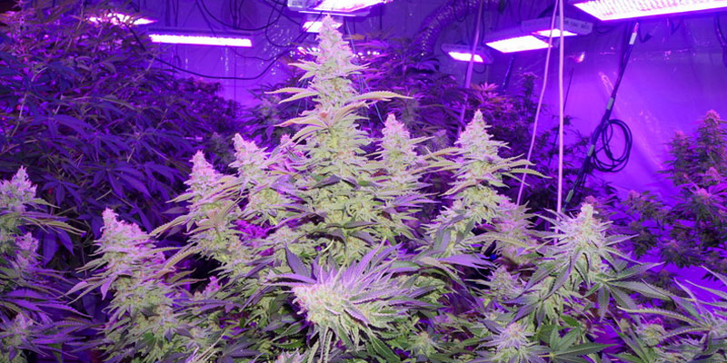 From Light to Growth: Growing the Best Weed with Light
