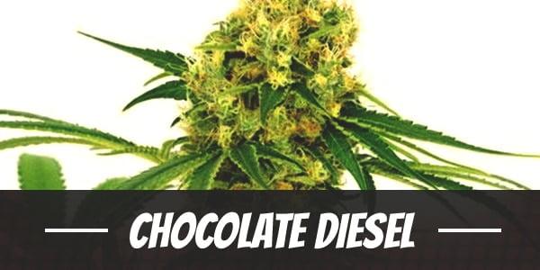 Chocolate Diesel Strain