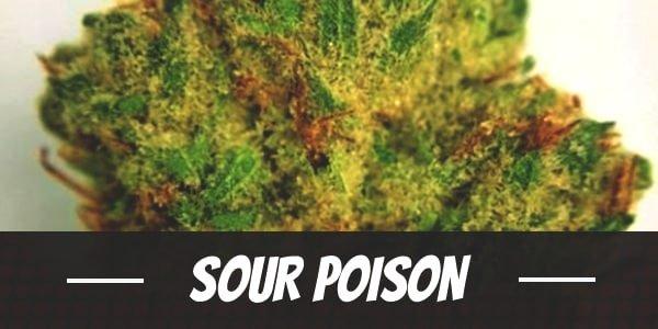 Sour Poison Strain