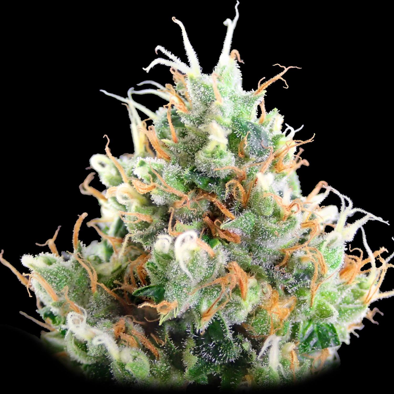 Strawberry Ice Strain Review I Love Growing Marijuana