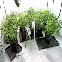 How to Grow Cannabis In A Small Space