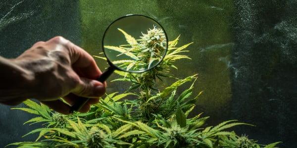 Keep quiet when growing marijuana