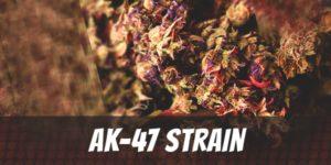 AK-47 Strain