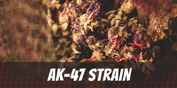 AK-47 Strain Review