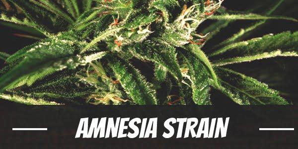 Amnesia Strain
