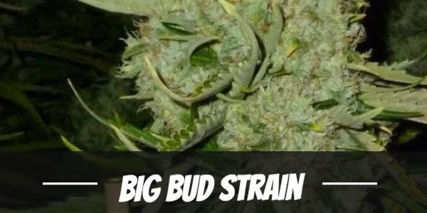 Big Bud Strain Review