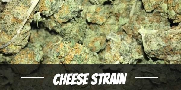 Cheese Strain