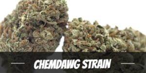 Chemdawg Strain