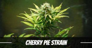 Cherry Pie Strain