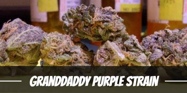 Granddaddy Purple Strain