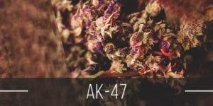 AK47 Strain Review