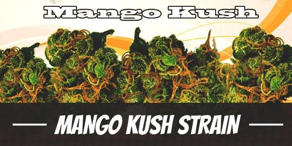 Mango Kush Strain