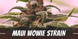Maui Wowie Strain