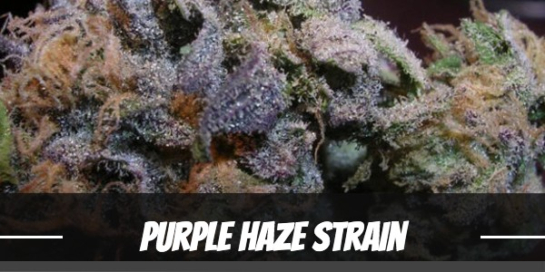 Purple Haze Strain