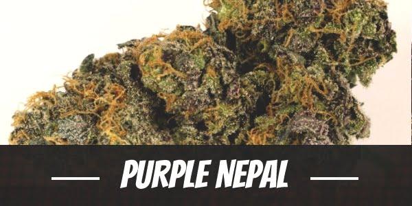 Purple Nepal Strain