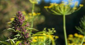 marijuana-garden
