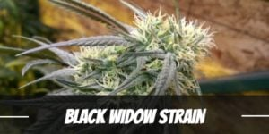 Black Widow Strain