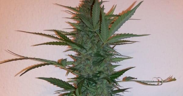 Early Skunk Strain Review - I Love Growing Marijuana