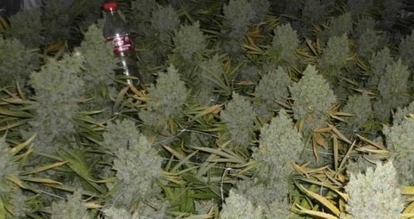 How To Grow Huge Marijuana Buds