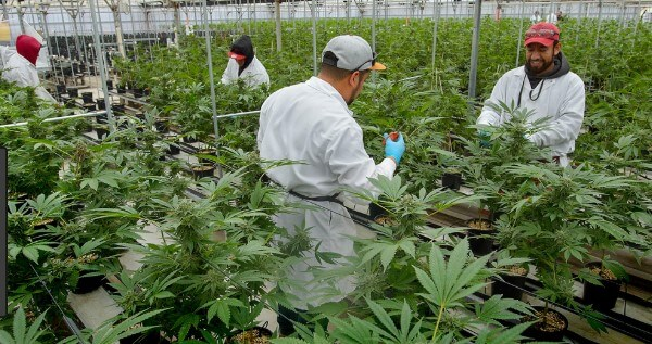 Legal requirements to become a trimmer or budtender in California