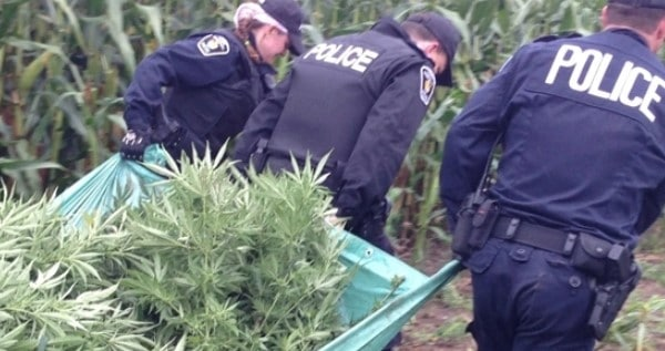 Police taking cannabis from grow site