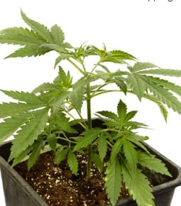 How to Prune Marijuana Plants: The Ultimate Guide - ILGM