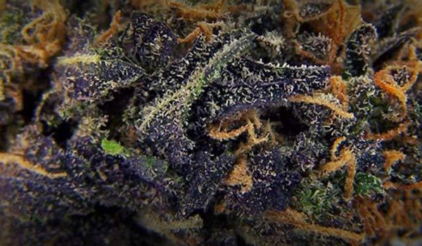 Blueberry strain marijuana