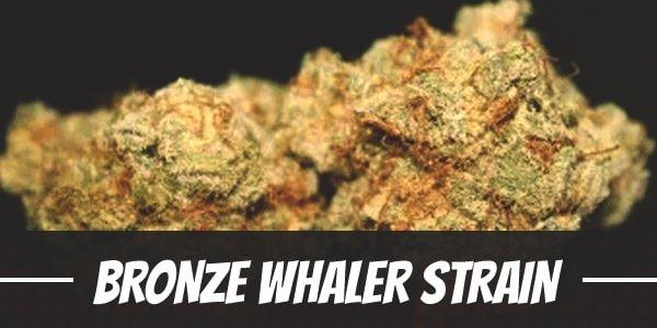 Bronze Whaler Strain