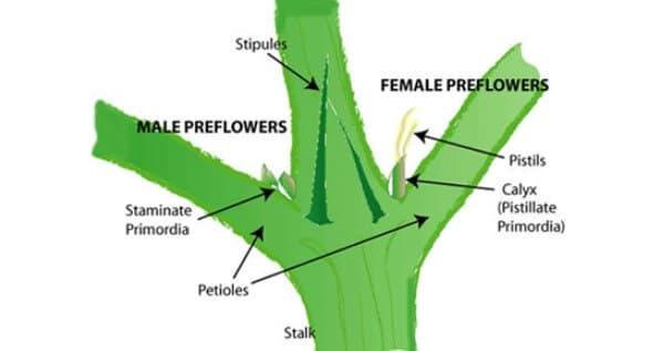 Determine sex during vegetative stage