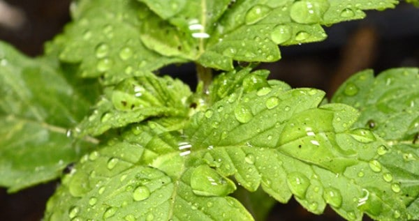 Ideal humidity for marijuana seedlings