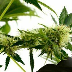 The Life Cycle of Marijuana Plants - I Love Growing Marijuana