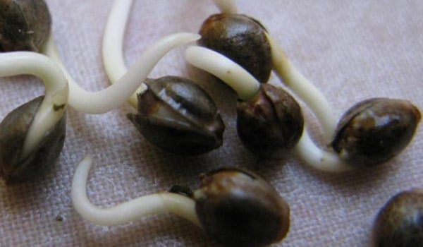 germinating weed seeds