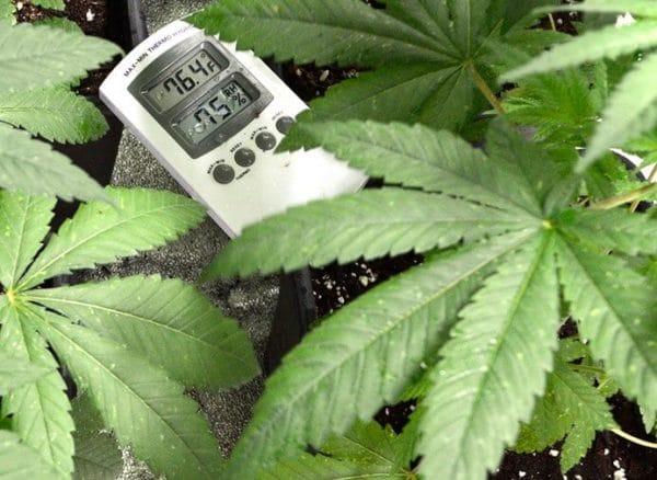 climate-changes-on-marijuana-plants